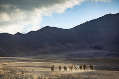 Wild horses in a mongolian landscape Stock Photo