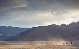 Wild horses in a mongolian landscape Stock Photography