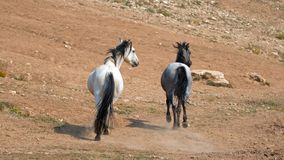 Wild Horses in Montana US - Apricot Dun Pale White Buckskin stallion and Gray Grulla mare in the Pryor Mountains Wild Horse Range Stock Photography