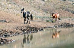 Wild Horses in Montana USA - Black stallion with his Dun mare following him at the water hole in Pryor Mountains Wild Horse Range Stock Image