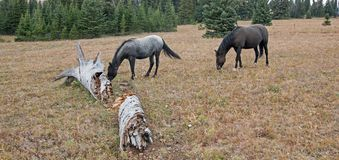 Wild Horses in Montana USA - Blue roan mare and Black stallion next to dead rotting log in the Pryor Mountains Wild Horse Range. Wild Horses in Montana United Stock Photos