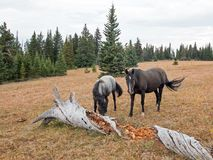 Wild Horses in Montana USA - Blue roan mare and Black stallion next to dead rotting log in the Pryor Mountains Wild Horse Range. Wild Horses in Montana United Royalty Free Stock Photos