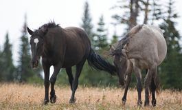 Wild Horses in Montana USA - Young Black stallion and young Gray Grulla stallion in the Pryor Mountains Wild Horse Range. Wild Horses in Montana United States Royalty Free Stock Image