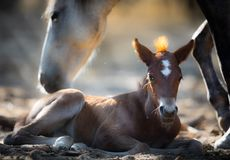 Wild Horses & x28;Mother and Foal Mustangs& x29; in Salt River, Arizona Royalty Free Stock Images