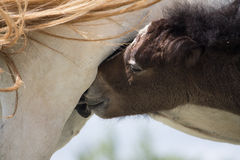 Wild horses and a mother's love Royalty Free Stock Image