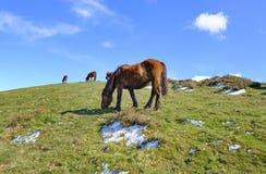 Wild horses in the mountain. Royalty Free Stock Photos