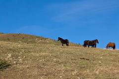 Wild horses in the mountain Royalty Free Stock Photography