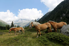 Wild horses in mountain Royalty Free Stock Photos