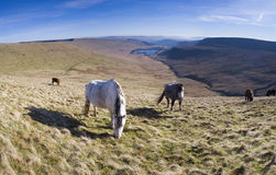 Wild horses and mountain scenic. Stock Photos
