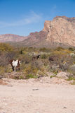 Wild horses in mountainous desert. Wild horses in Mountain desert of Sonora Mexico Royalty Free Stock Images