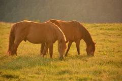 wild horses in the mountains Stock Images