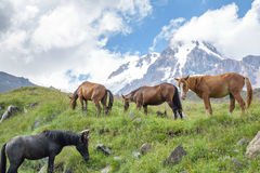 Wild horses in the mountains Stock Photography