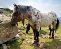 Wild horses on mountains Stock Photo