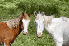 Wild horses. Mustang grass summer royalty free stock images