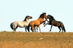 Wild Horses / Mustang Stallions fighting in the Pryor Mountains Wild Horse Range on the state border of Wyoming and Montana USA stock photo