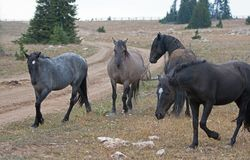 Wild Horses / Mustang Stallions fighting in the Pryor Mountains Wild Horse Range on the state border of Wyoming and Montana USA Royalty Free Stock Photo
