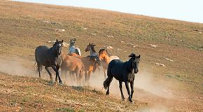 Wild Horse Mustang Stallions running and fighting in the Pryor Mountains Wild Horse Range on the border of Wyoming and Montana USA Royalty Free Stock Images