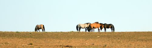 Wild Horses / Mustangs facing off before fighting in the Pryor Mountains Wild Horse Range on border of Wyoming and Montana USA Royalty Free Stock Photo