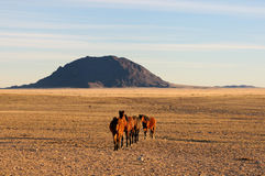 Wild horses of the Namib Royalty Free Stock Photos