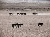Wild Horses of the Namib desert Royalty Free Stock Image