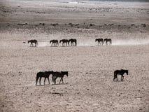 Wild Horses of the Namib desert Royalty Free Stock Image