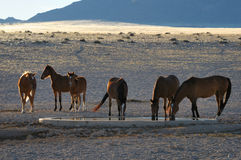 Wild horses of the Namib Royalty Free Stock Image