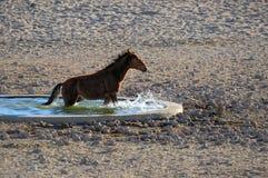 Wild horses of the Namib Stock Photos