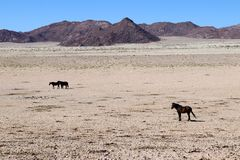 Wild horses in the Namib - Namibia africa royalty free stock images
