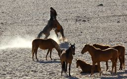 Wild horses of the Namib Stock Photography