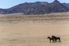 Wild horses of the Namib Stock Image