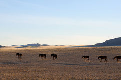 Wild horses of the Namib Stock Photo