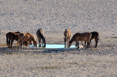 Wild horses of the Namib Stock Images