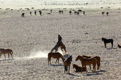 Wild horses of the Namib playing Royalty Free Stock Image