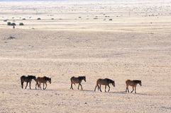 Wild horses of the Namib Stock Photos
