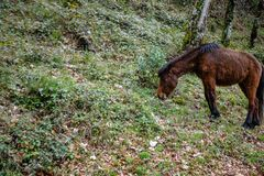 Wild horses, National Park Peneda - Geres, Portugal.  stock photography