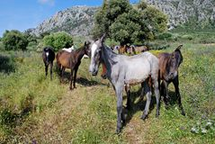 Wild horses near Casares, Spain. Horses on the slopes of Reales Mountain in Sierra Bermeja, near Casares, Malaga Province, Andalusia, Spain, Western Europe Royalty Free Stock Photography