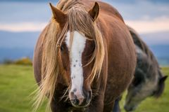 Wild horses in Wales, UK. Wild horses near Hay Bluff and Twmpa in the Black Mountains, Brecon Beacons, Wales, UK stock photo