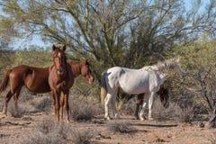 Wild Horse Herd in the Arizona Desert. Wild horses near the Salt River in the Arizona desert Stock Photography