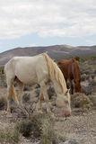 Wild Horses in Nevada Stock Images