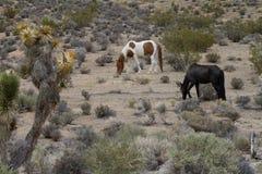 Wild horses in the Nevada desert stock photo