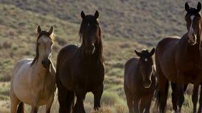Wild horses of Nevada, herd of wild mustang horses in the high Nevada desert mountains stock photo