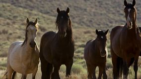 Wild horses of Nevada, herd of wild mustang horses in the high Nevada desert mountains stock images