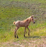Wild horses: a newborn foal. A newborn foal in the wild on Assateague Island Royalty Free Stock Images