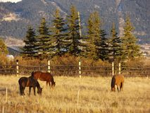 Wild horses. No there not exactly wild horses but they are Mustang horses. these are my neighbors horses that were out grazing the other day Royalty Free Stock Image