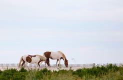 Free Wild Horses Of Assateague Island Stock Photo - 83042650