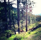 Wild Horses of Okanogan. Valley running in forest by a stream Royalty Free Stock Image