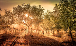Wild horses in olive orchard Royalty Free Stock Images