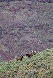 Wild Horses On Hillside Royalty Free Stock Photo