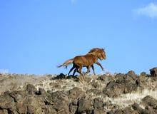 Wild Horses On Ridgeline Stock Photography