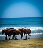 The wild horses of the Outer Banks North Carolina royalty free stock photography